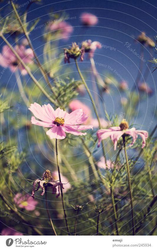 Carmen Natur blau schön Pflanze Blume Sommer Wiese Garten rosa Stengel Duft Schönes Wetter Blütenblatt blütenblattartig