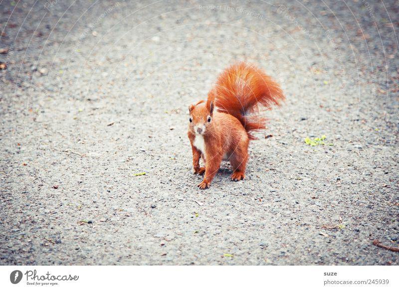 Knickohr Tier Erde Fell Wildtier 1 schön klein lustig Neugier niedlich grau rot Interesse Eichhörnchen Nagetiere Schwanz Boden tierisch Farbfoto mehrfarbig