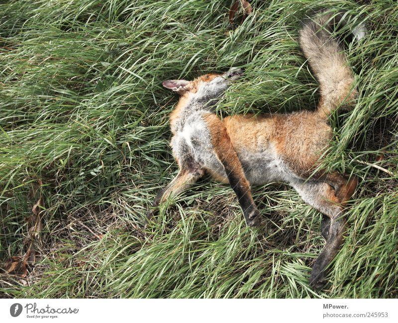 der schläft nur... Natur grün rot Pflanze Tier Tod Gras Traurigkeit liegen Wildtier authentisch Fell Jagd Werkzeug Risiko Wildnis