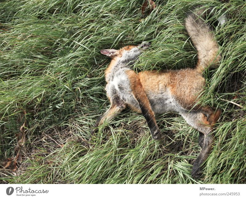 der schläft nur... Natur Pflanze Tier Gras Verkehrsunfall Wildtier Totes Tier 1 authentisch grün rot Fuchs Fuchsschwanz Tod liegen Unfallgefahr Unfalltod