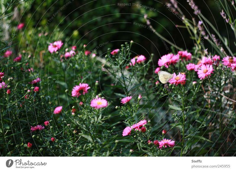Spätsommer im Garten Altweibersommer Indian Summer Nachmittag Schönes Wetter blühende Astern Nachmittagssonne spätsommertag Schmetterling kleiner Kohlweißling