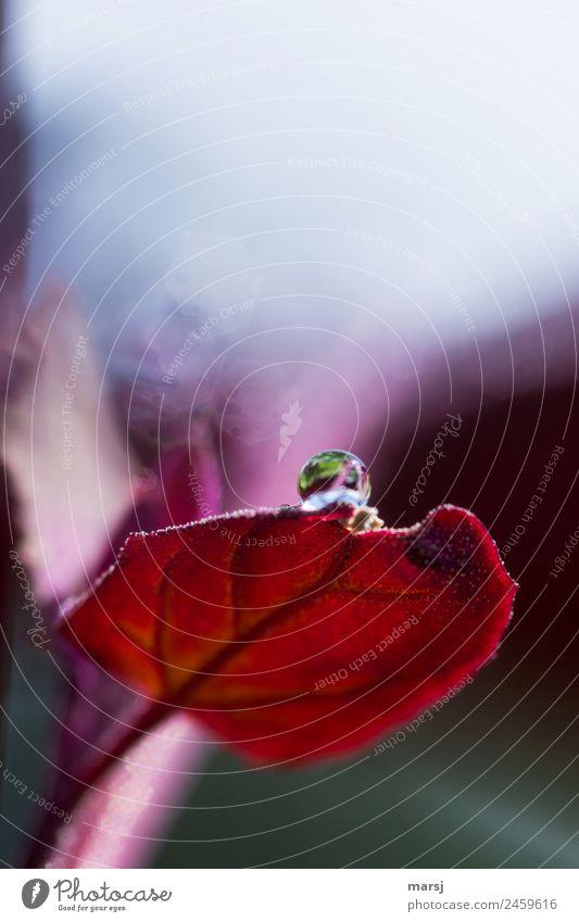 Balanceakt Leben Natur Wassertropfen Pflanze Blatt rund leuchten einzigartig rot Reinheit Hoffnung demütig Farbfoto mehrfarbig Außenaufnahme Makroaufnahme