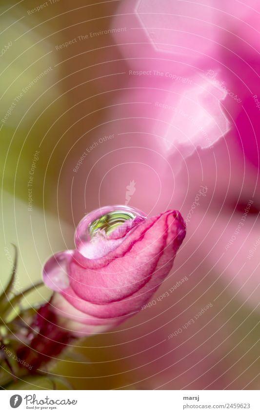 Tröpfchenzeit Pflanze Leben Frühling Blüte Glück klein rosa Zufriedenheit leuchten glänzend Kraft ästhetisch authentisch Lebensfreude Wassertropfen Blühend