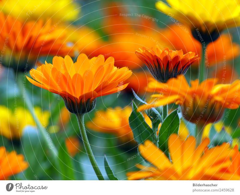Blütenmeer von Ringelblumenblüten Gartenpflanzen Heilpflanzen Blütenstauden Blütenblatt Blumenwiese Alternativmedizin Sommerblumen Korbblütengewächs Teepflanze