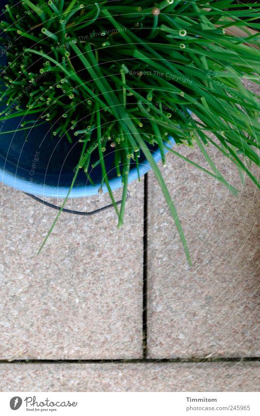 Kleine Entdeckungen (II): Die Halme fürchten den Schnitter! grün blau Pflanze Gefühle Stein Lebensmittel Wachstum authentisch natürlich Kunststoff Kräuter & Gewürze Ernte Terrasse Schnittlauch
