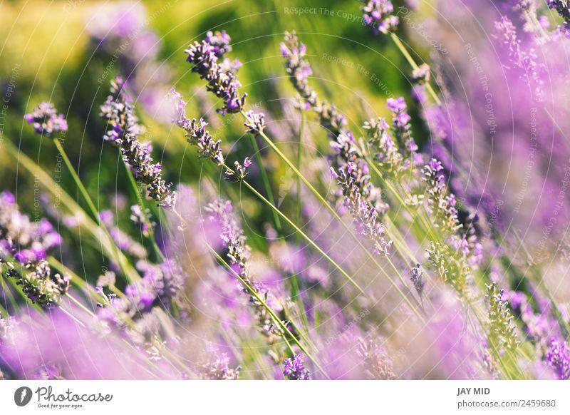 wilde Lavendel auf dem Feld, ein sonniger Tag schön Erholung Sommer Garten Natur Landschaft Pflanze Himmel Blume Blüte natürlich blau Gefühle Provence purpur