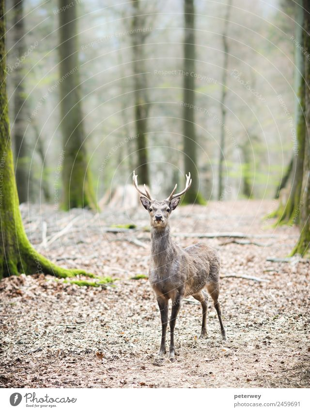 young male sika deer (lat. cervus nippon) Natur Wald Tier 1 stehen braun animal antlers cute dof dreamy forest head low Malediven mammal shy Single standing