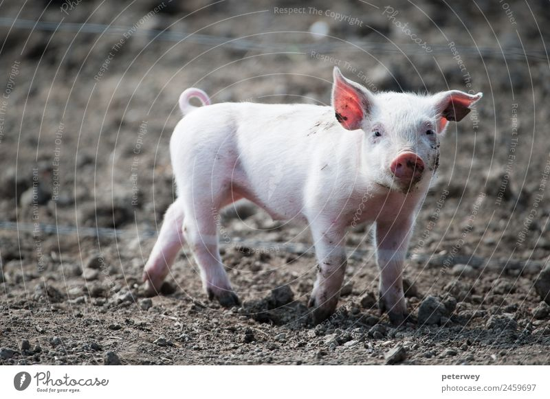 Cute happy baby pig with ear tag Tier 1 Tierjunges lustig braun rosa agriculture animal barn barnyard cute dirt domestic farm farmyard head hog little mud oink