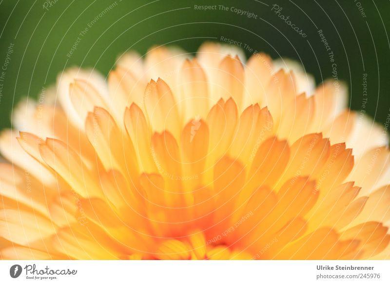 Sonnenaufgang Natur schön Pflanze Sommer Blume gelb Wiese Leben Garten Blüte Zufriedenheit gold frisch natürlich ästhetisch leuchten