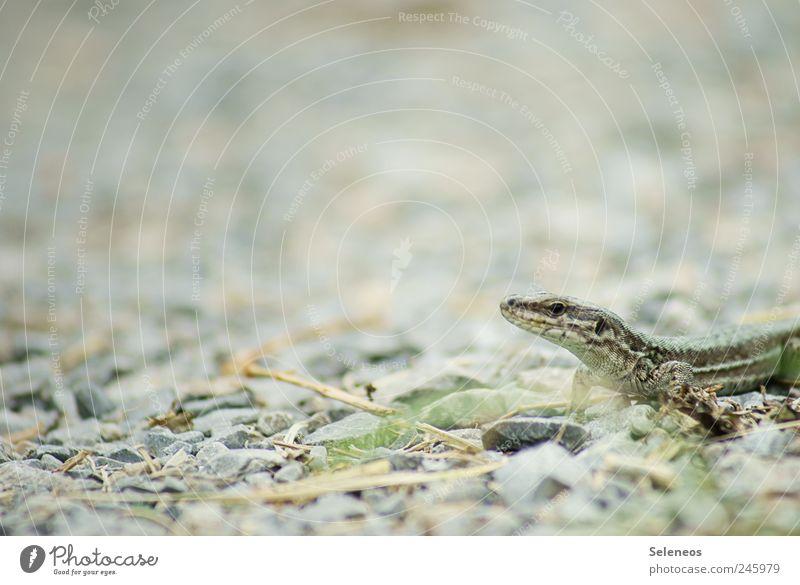Sonnenbad Sommer Umwelt Natur Schönes Wetter Tier Wildtier Tiergesicht Echsen 1 Stein klein Kies Farbfoto Menschenleer Textfreiraum links Tag Licht