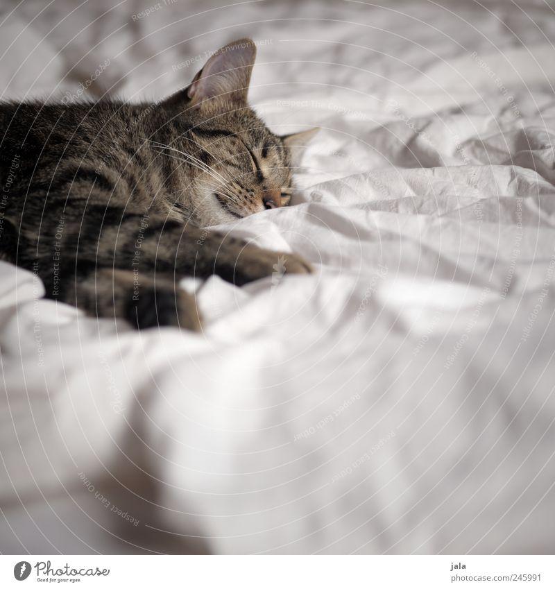döserle Tier Haustier Katze Tiergesicht Pfote 1 genießen liegen schlafen Farbfoto Innenaufnahme Menschenleer Textfreiraum unten Tag Tierporträt