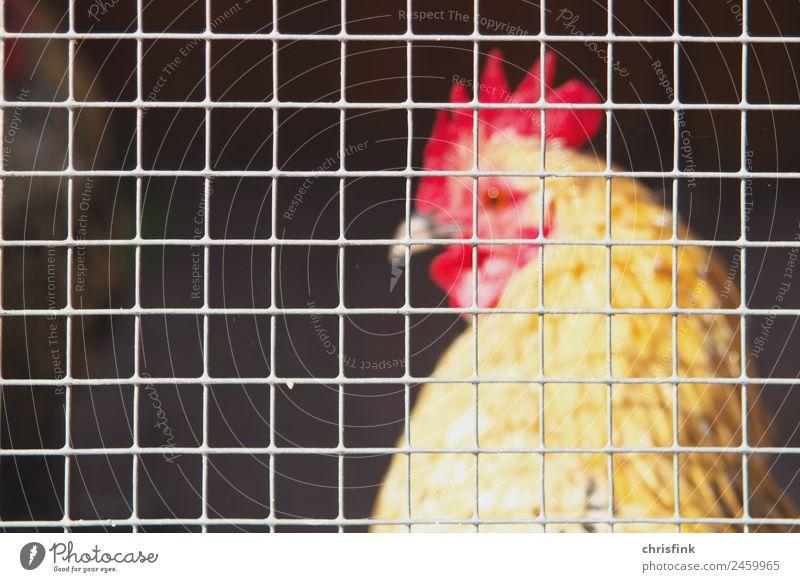 Hahn im Stall hinter Gitter Landwirtschaft Forstwirtschaft Tier Haustier Nutztier Tiergesicht Flügel Haushuhn 1 Fressen füttern gelb Stress Käfig Tierhaltung