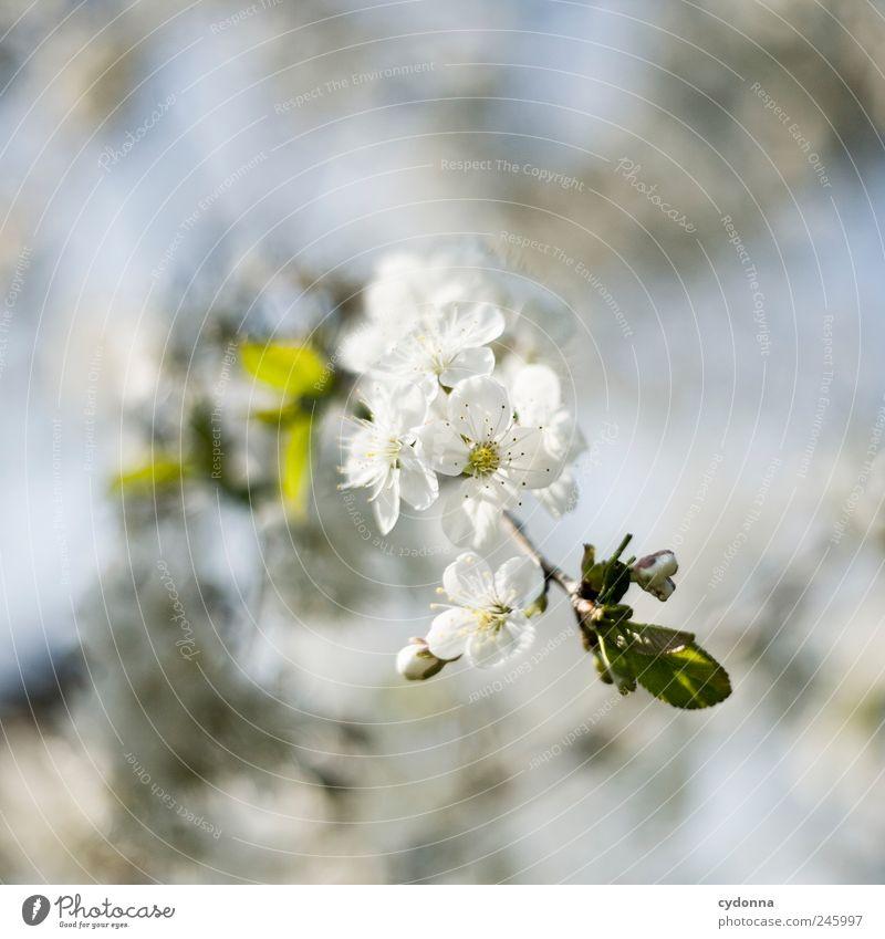 Zarte Blüten Natur schön Baum Pflanze ruhig Umwelt Leben Freiheit Frühling Glück Garten Blüte träumen Zeit ästhetisch Wachstum