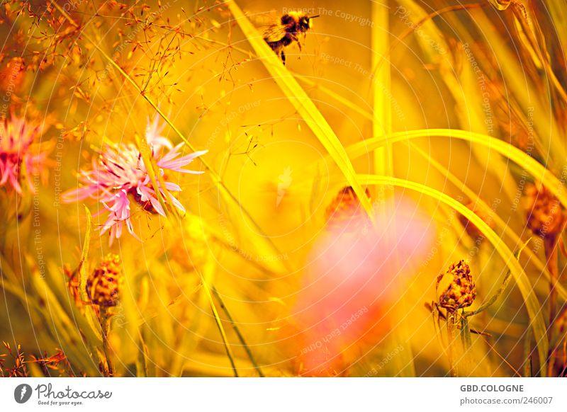 Brummer im Anflug! Natur schön Pflanze Sommer Tier gelb Wiese Landschaft Blüte Gras Glück Wärme gold fliegen Fröhlichkeit natürlich