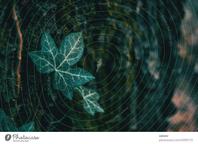 Nahaufnahme eines isolierten Efeublattes in einer dunklen Umgebung Kräuter & Gewürze Sommer Garten Dekoration & Verzierung Klettern Bergsteigen Umwelt Natur