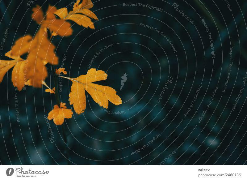Nahaufnahme eines orangefarbenen Blattes von Crataegus monogyna auf einem Hintergrund und in dunkler Umgebung schön Sommer Garten Umwelt Natur Pflanze Herbst
