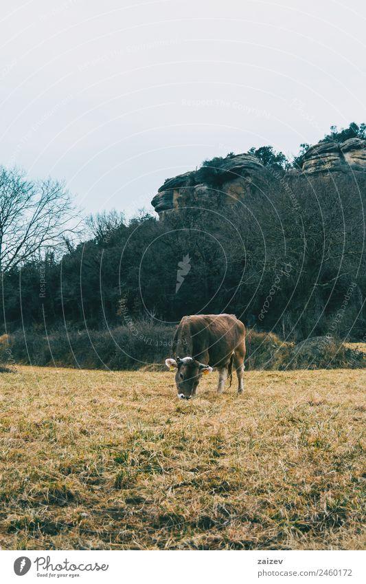 Nahaufnahme einer Kuh, die an einem bewölkten Tag auf der Wiese frisst. Essen schön Berge u. Gebirge Natur Landschaft Pflanze Tier Wolken Gras Garten Park Feld