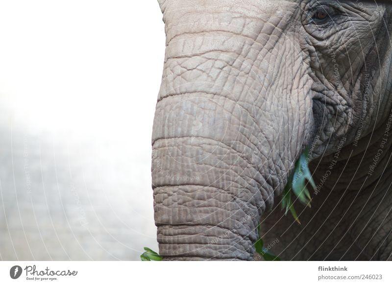Mahlzeit Tier Nase Hautfalten Wildtier Zoo Fressen Elefant füttern Rüssel Elefantenhaut