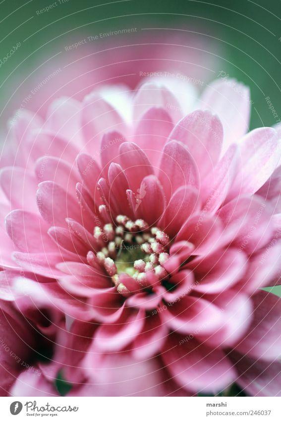 Blütensommer Natur schön Pflanze Sommer Blume rosa Wachstum Blühend Blütenblatt sommerlich Blütenstempel