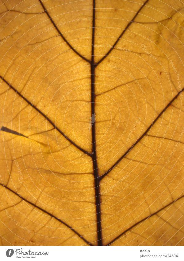 Eichenlaub Natur Baum Farbe Blatt Herbst braun orange herbstlich Gefäße Faser Wildpflanze Laubbaum Eichenblatt