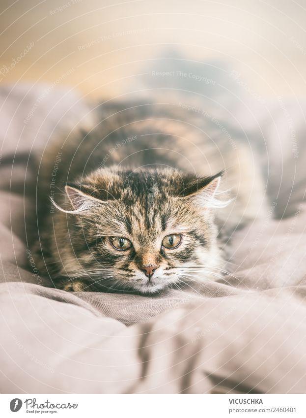 Junge Sibirische Katze jagt Lifestyle Häusliches Leben Tier Haustier Design Kitten langhaarig Rassekatze Jagd Spielen Tierjunges Farbfoto Innenaufnahme