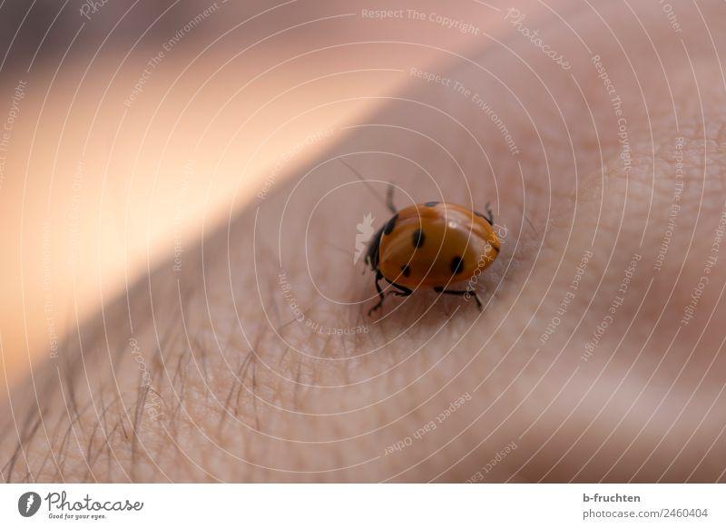 Marienkäfer Mann Erwachsene Haut Arme Käfer beobachten berühren Bewegung krabbeln Punkt Glücksbringer Natur Garten schön ruhig Farbfoto Außenaufnahme