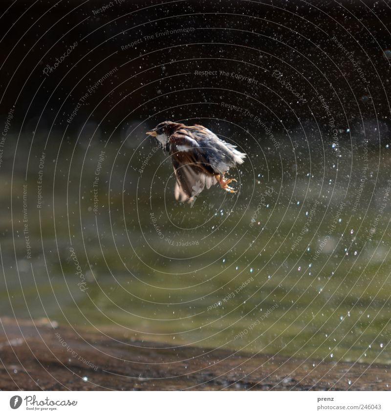 spatz Tier Park Wildtier Vogel Flügel 1 fliegen grau Spatz fliegend nass Wasser Wassertropfen Brunnen Farbfoto Außenaufnahme Menschenleer Morgen Licht