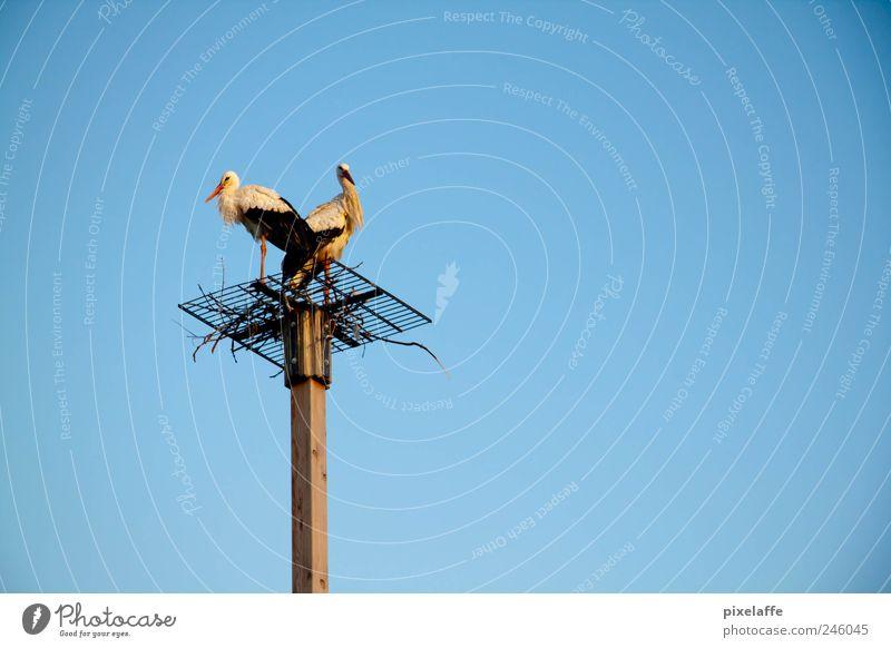 Störche Natur Tier Wildtier Vogel Zoo 2 Tierpaar Stimmung Glück Storch Farbfoto Außenaufnahme Textfreiraum rechts Abend Sonnenlicht Sonnenaufgang