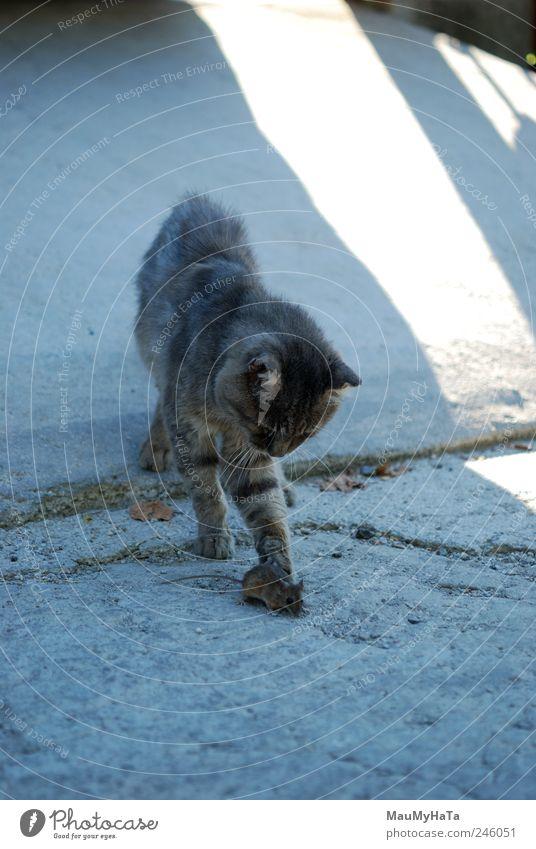 Katze und Maus Tier Haustier 2 Bewegung Jagd Spielen Aggression dunkel authentisch blau grau weiß Farbfoto Außenaufnahme Menschenleer Morgen Schatten Kontrast