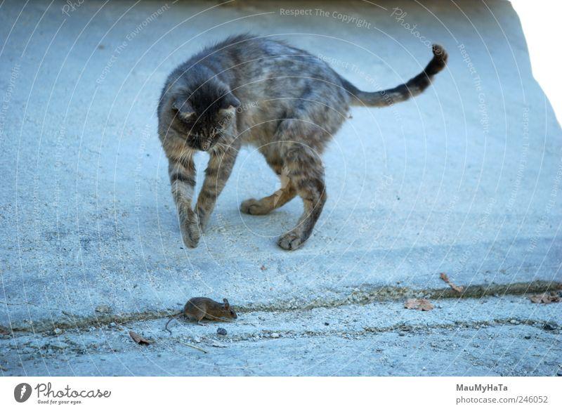 blau Tier Tod grau Bewegung Katze Wut Jagd Haustier Pfote Maus Fressen Aggression Überleben töten Beute