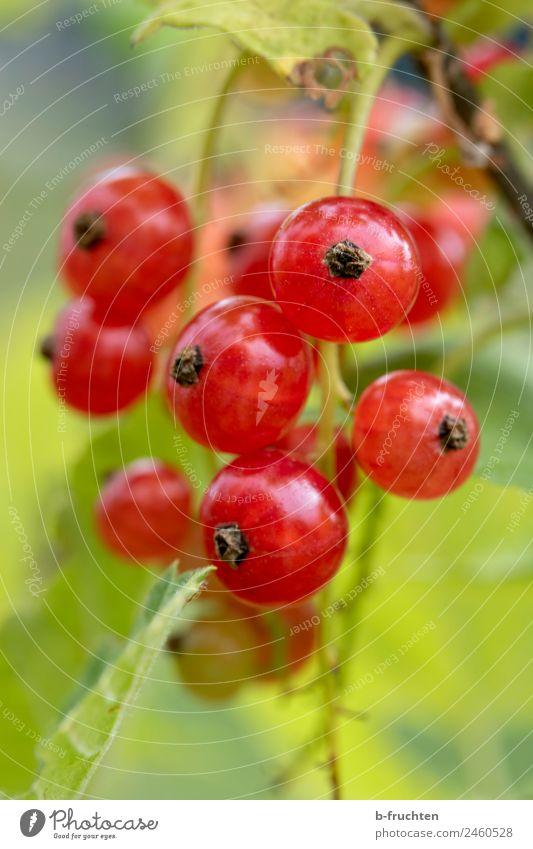 Rote Johannisbeere Lebensmittel Frucht Bioprodukte Sommer Pflanze Nutzpflanze Garten frisch saftig rot Blüte Johannisbeerstrauch Johannisbeeren Wachstum Ernte