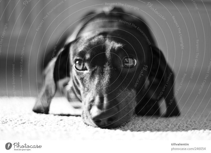 Sehnsucht Hund weiß Tier schwarz ruhig Auge Erholung Traurigkeit träumen hell elegant liegen ästhetisch schlafen trist beobachten