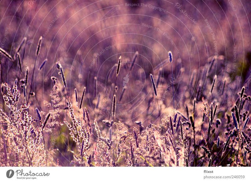 purple summer Landschaft Sommer Schönes Wetter Sträucher Feld Zufriedenheit Optimismus träumen Farbfoto Außenaufnahme Textfreiraum oben Tag Dämmerung Gegenlicht