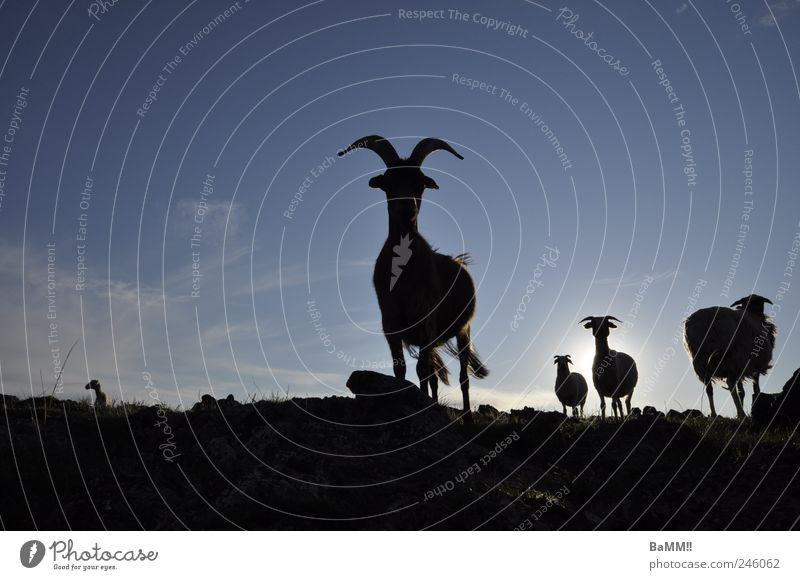 wir sind da!! Sommer Tier wandern Tiergruppe Schaf Stolz Steppe Nutztier Ziegen Mongolei