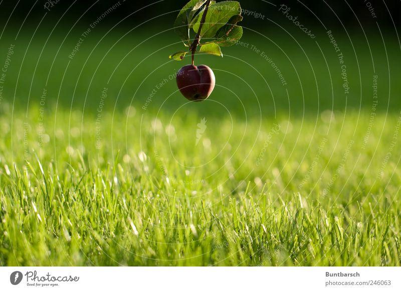 Bodennähe Apfel Natur Pflanze Sommer Baum Gras Blatt Apfelbaum Apfelbaumblatt Garten Wiese hängen grün rot Perspektive Farbfoto Außenaufnahme Tag Sonnenlicht