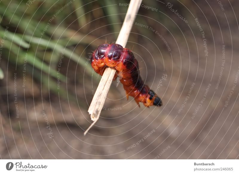 Körperspannung Tier natürlich Insekt Schmetterling Ekel hängen Zweig Raupe