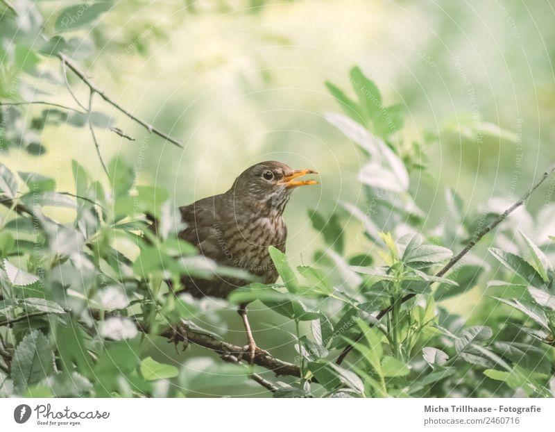 Singende Amsel Natur grün Sonne Baum Tier Blatt Auge gelb sprechen natürlich Vogel orange braun Kommunizieren Wildtier Feder