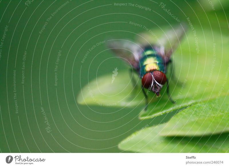 Goldfliege auf einem grünen Blatt Fliege grüne Fliege Facettenauge Facettenaugen hellgrün natürlich glänzend einfach heimisch klein nah braun stehen normal