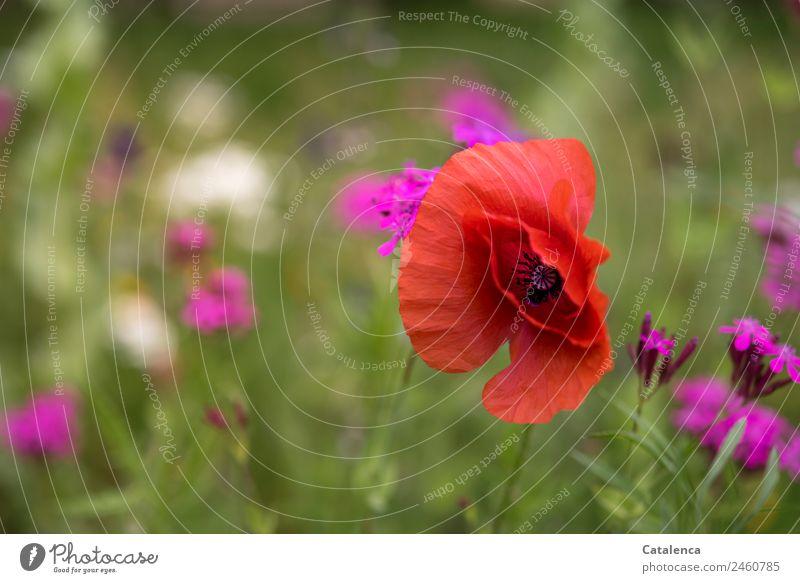 Klatschmohn in der Blumenwiese Natur Sommer Pflanze schön grün Blatt Blüte Wiese Gras Garten orange rosa Stimmung Wachstum ästhetisch