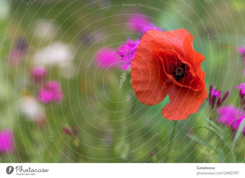 Mohn am Donnerstag Natur Sommer Pflanze schön grün weiß Blume Blatt Leben Blüte Wiese Gras Garten orange rosa Stimmung