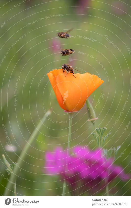Geschwindigkeit | genau auf einander abgestimmt Natur Pflanze Tier Sommer Schönes Wetter Blume Gras Blatt Blüte Mohnblüte Garten Wiese Feld Schwebefliegen