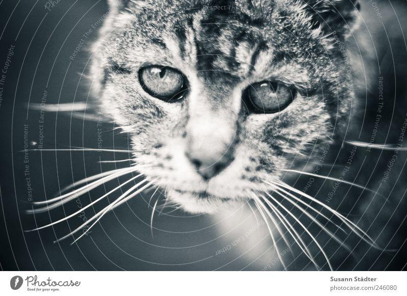 du warst so lange treu. Tier Haustier Katze alt gut dünn Traurigkeit Sorge Trauer Verzweiflung Hauskatze Profil intensiv Verständnis Tierliebe Tigerfellmuster