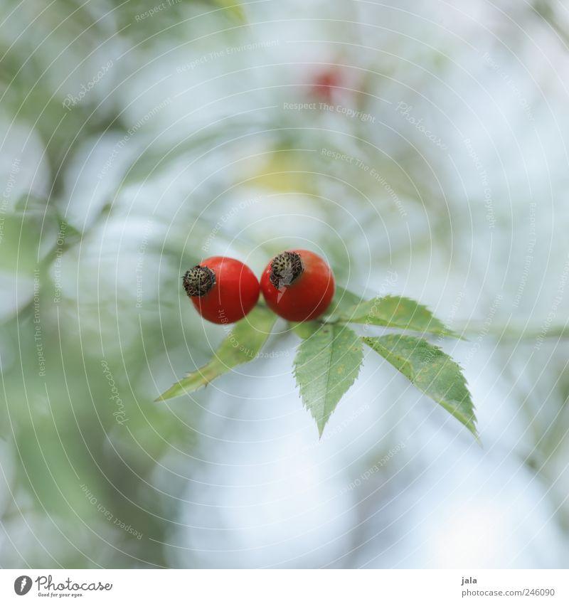 hagebutten Natur Pflanze Blatt Blüte Umwelt Sträucher natürlich Grünpflanze Hagebutten Nutzpflanze