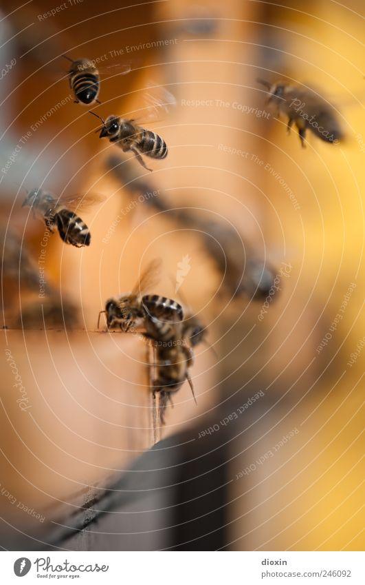 emsig Honig Imker Nutztier Biene Bienenstock Insekt Arbeiter Tiergruppe Schwarm fliegen Natur fleißig Summen Sammlung Landen Abheben Farbfoto Nahaufnahme