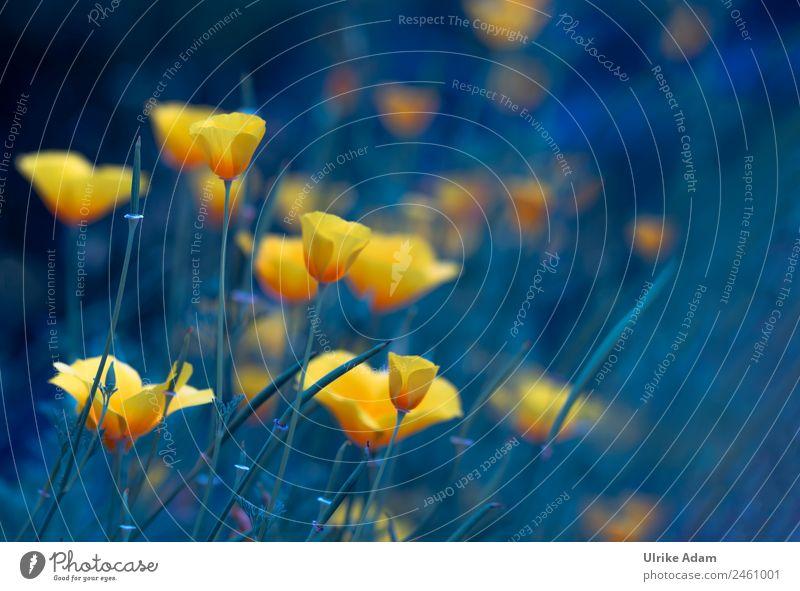 Goldmohn Natur Sommer blau Pflanze schön Farbe Blume Erholung ruhig Leben gelb Blüte Glück Garten Feste & Feiern Zufriedenheit