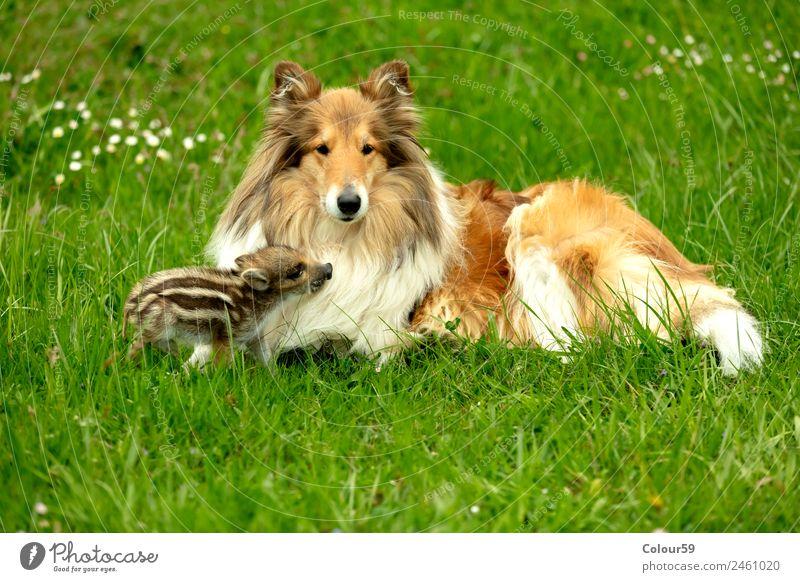 Frischling spielt mit Collie Hündin schön Spielen Baby Freundschaft Natur Tier Frühling Gras Wiese Haustier Wildtier Hund 2 genießen liegen klein lustig