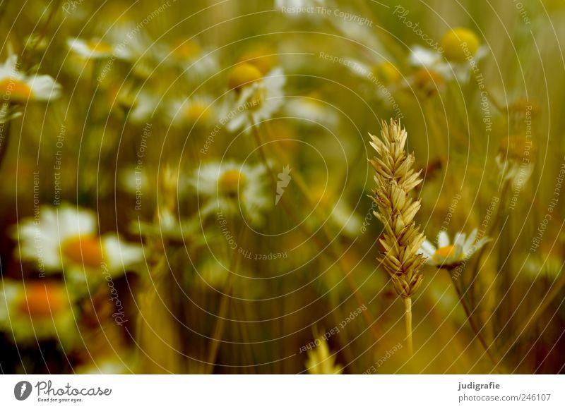 Sommer Umwelt Natur Pflanze Blume Blüte Wiese Feld Wachstum natürlich Stimmung Idylle Ähren Getreide Feldrand Kamille Heilpflanzen Farbfoto Außenaufnahme