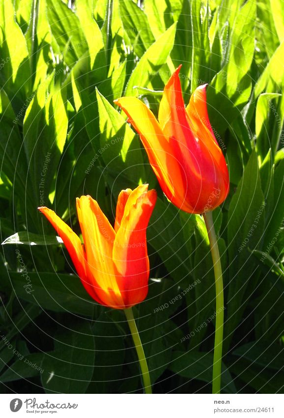 Feuertulpe Sommer Sonne Garten Natur Frühling Schönes Wetter Blume Tulpe Blüte gelb grün orange rot Farbe mehrfarbig Stengel Blühend Farbfoto Außenaufnahme