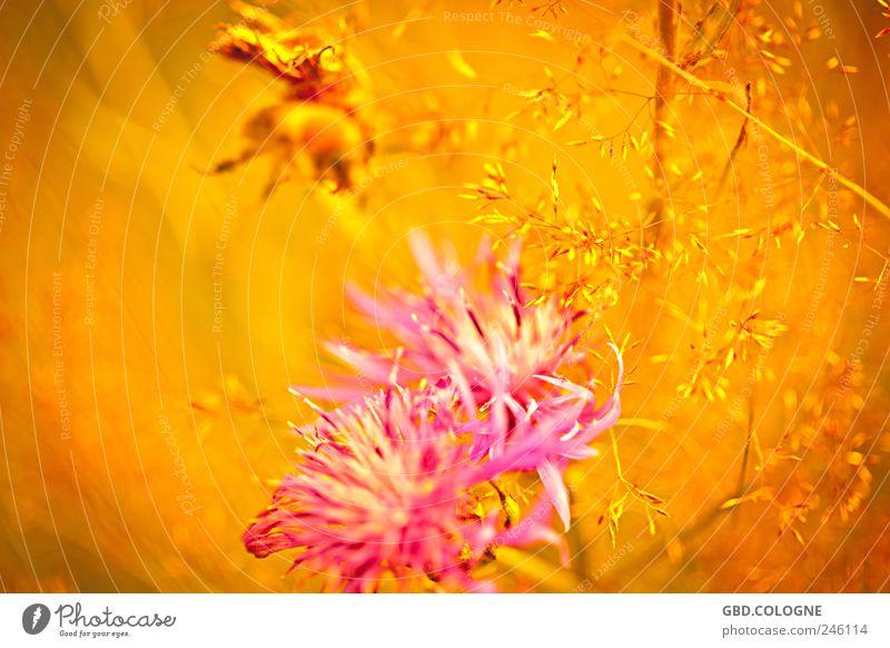 Sommermärchen Natur Pflanze Blume Gras Kornblume Wiese Tier Hummel 1 Blühend Duft fliegen natürlich Wärme gelb gold rosa Pollen Nektar Biene Farbfoto mehrfarbig
