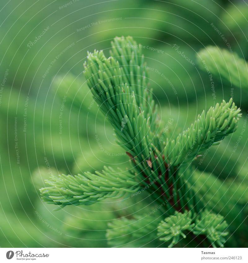 Oh Green World Umwelt Natur Pflanze Baum Grünpflanze Immergrüne Pflanzen Tanne Tannenzweig alt Wachstum saftig Sauberkeit Hoffnung Farbfoto Außenaufnahme